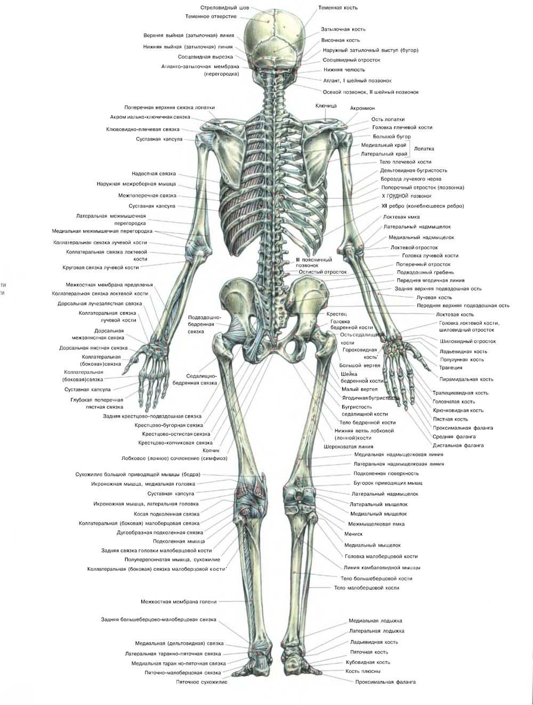 Книга скелет человека скачать бесплатно